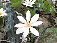 blood root flower