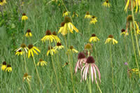 Yellow coneflower and pale purple coneflower.