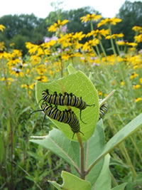 Monarch butterfly larvae.