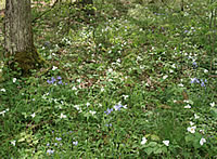 Large-flowered white trillium and wood phlox in the forest.