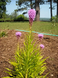 Blazing Star at Lumberman's Monument Pollinator Garden.
