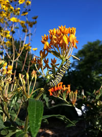 Swallowtail caterpillar on butterfly milkweed.