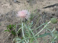 Pitcher's thistle.