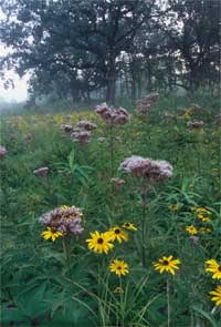 Spotted Joe Pye Weed and Sullivant's Coneflower growing in a seep within Prairie Creek Woods.