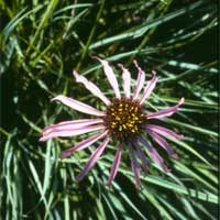 pale purple coneflower.