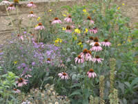Aster and coneflower species.