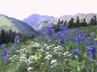 Wasatch penstemon (Penstemon cyananthus) and leafy jacobsladder (Polemonium foliosissimum) in an Albion Basin meadow.
