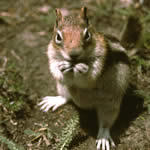 Golden-mantled squirrel.