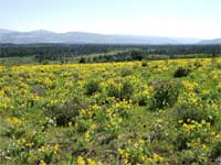 Arrowleaf Balsamroot and wildflowers.