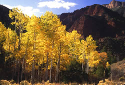 Golden aspen in the Ashley National Forest