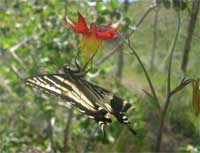 Western columbine and swallowtail butterfly.