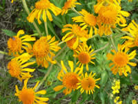 large golden-yellow blooms of Owl's claws.