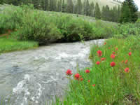 willows, paintbrush, and green bog-orchids along the banks of a swift-running mountain stream in the Wyoming Range.