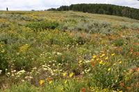 A high elevation sagebrush hillside exploding with wildflowers.
