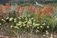 Narrowleaf paintbrush (Castilleja linariifolia) and Parsnipflower buckwheat (Eriogonum heracleoides).