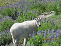 Wildflowers (lupine) and Rocky Mountain goat.