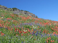 Wildflower covered hillside of Mt. Timpanogos displaying red paintbrush, white bistort, and blue lupine and bluebells.