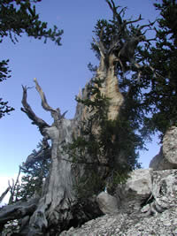 Bristlecone pine on Powell Point.