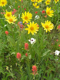 Sunflowers, Indian paintbrush, and sego lily.