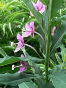 Pink-flowered fireweed.