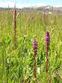 elephanthead lousewort, Pedicularis groenlandica.