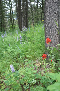 Paintbrushes and lupines