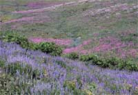 Silvery lupine and fireweed near Phillips Pass.