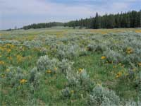 silver sagebrush and orange sneezeweed.
