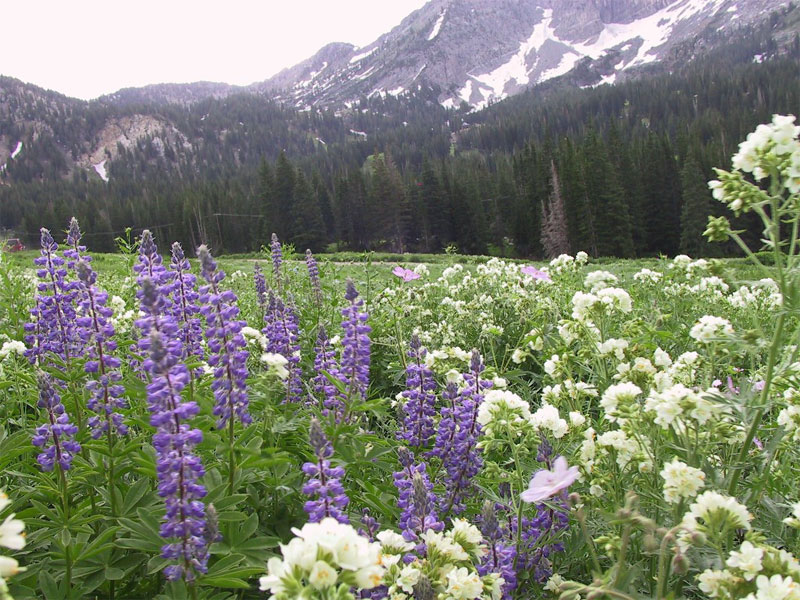 Jacob's Ladder and Lupine in Albion Basin.