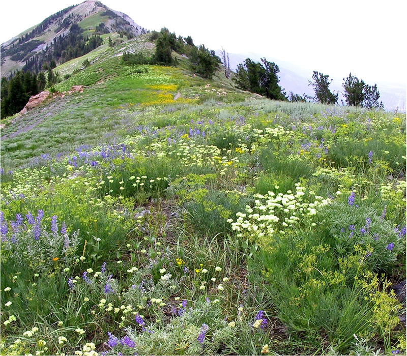 lupine, buckwheat, lomatiums, and other wildflowers carpeting the trail to Ben Lomond Peak on the Wasatch-Cache National Forest, Utah.