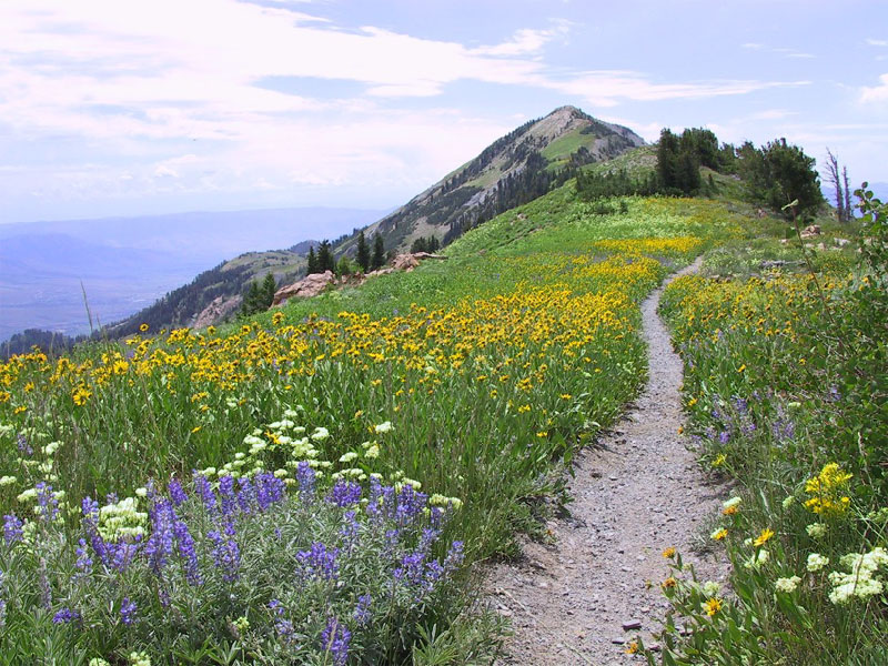 Lupine, Little sunflower, and Buckwheat along Ben Lomond Peak Trail.