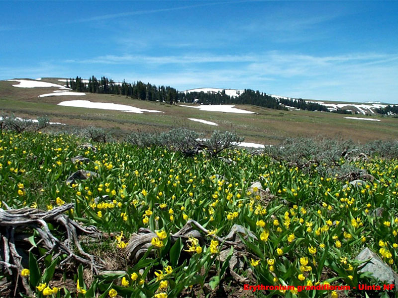Mountain field of Glacier Lilies.