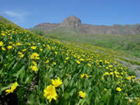mule's ears blooming in Nevada's Humboldt-Toiyabe National Forest.