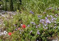Indian Paintbrush and penstemon spp.
