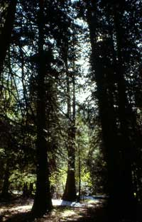 View through Roosevelt Grove, an ancient grove of western red cedars.