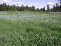 camas in Musselshell Meadows.