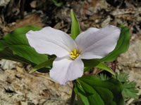 Large-flowered trillium.