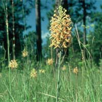 Yellow Fringed Orchid.