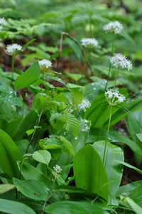 Speckled Wood Lily, Clintonia umbellate.