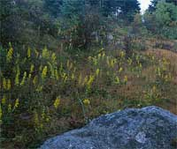 Roan Mountain Goldenrod.