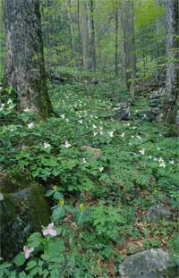 Cove spring wildflowers at Joyce Kilmer Memorial Forest.