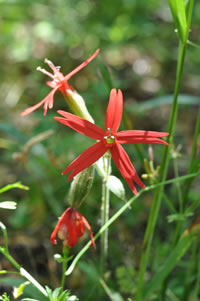 Royal catchfly.