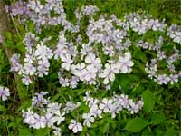 woodland blue phlox.