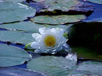 Fragrant pond lily