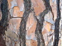 bark of a mature longleaf pine tree