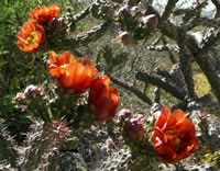 The flowers of staghorn cholla.