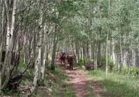 Forest Service packer with a mule carrying supplies to Escudilla Lookout through a forst of aspens.