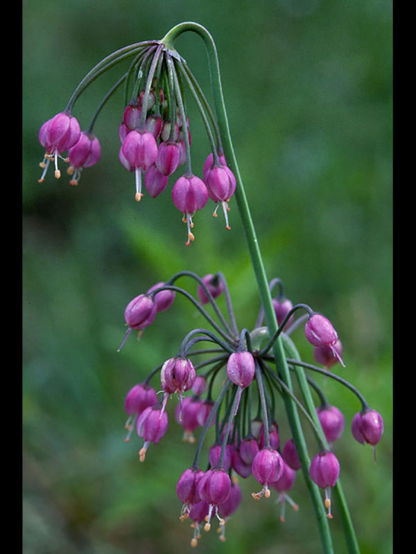 Nodding onion.