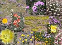 A collage of southwest wildflowers.
